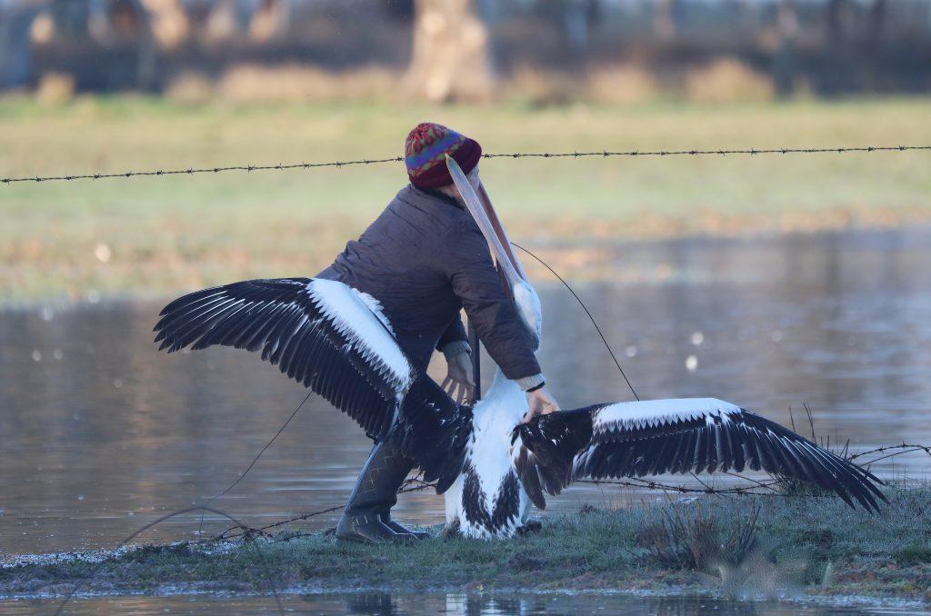 Photographer Ann Killeen frees a pelican